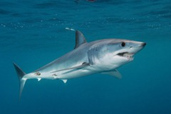 mako-shark-picture